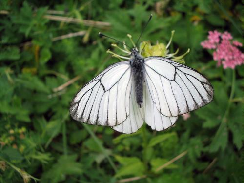 Чуть ли не самая массовая из дневных бабочек - 10 букв. Ответ: боярышница