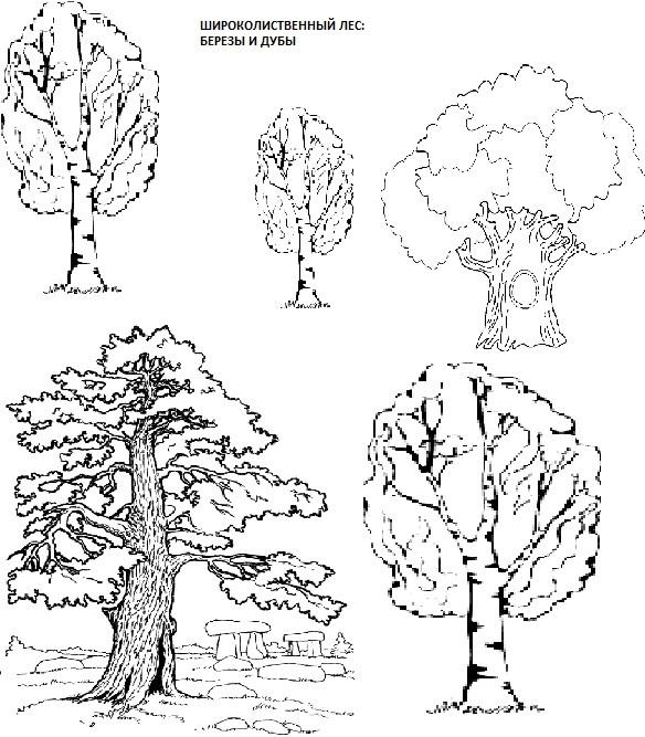 широколиственный лес из берез и дубов