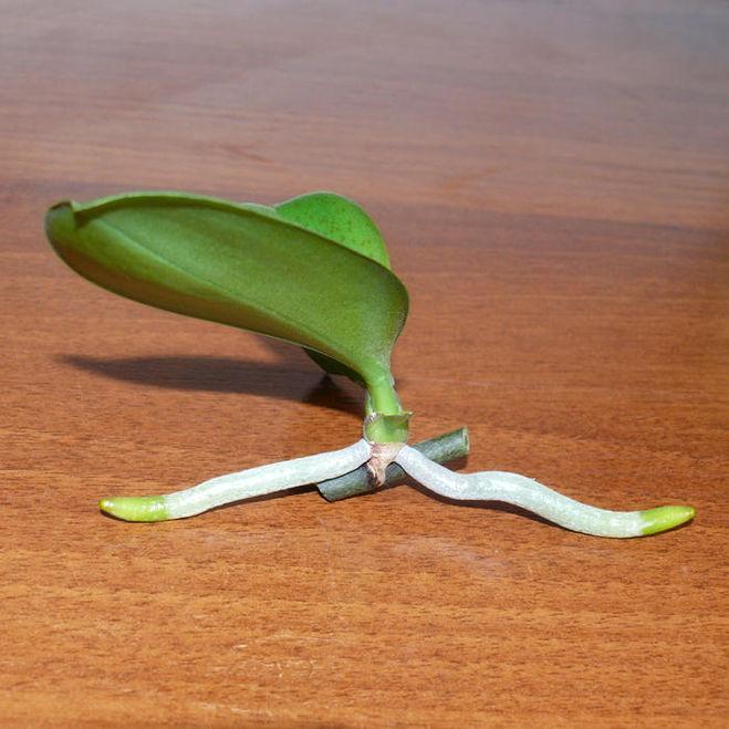 Размножение орхидей в домашних условиях в картинках