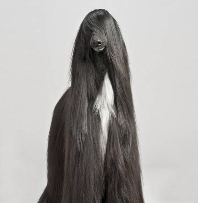 уложить шерсть собаки, причёска для собаки