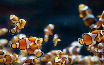 Рыба-клоун