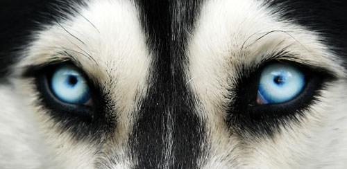 Цвет глаз хаски