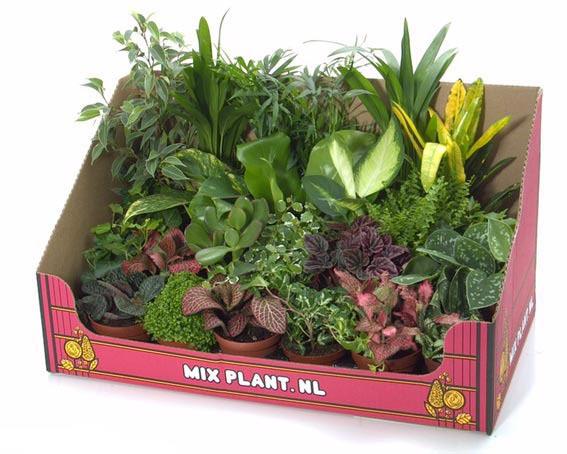 Цветок плант микс уход в домашних условиях уход