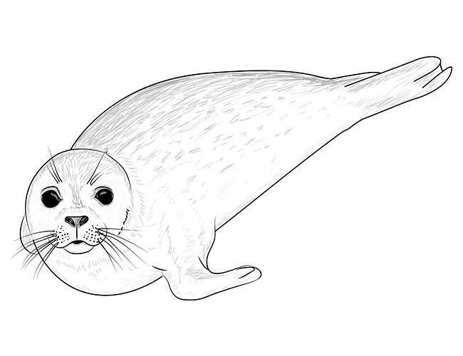 как рисовать тюленя 6