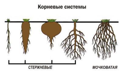 корневая система типы стержневая мочковатая