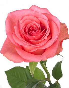 текст <em>цветы в подарок к новому году</em> при наведении