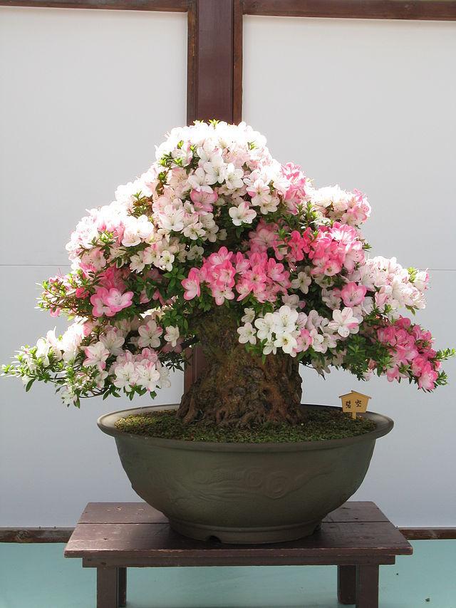 Комнатные японские цветы