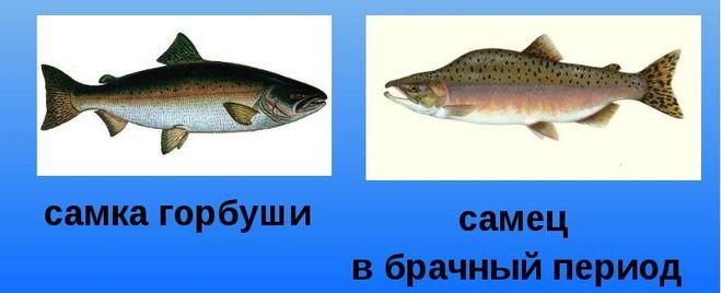 зимней рыбалки селедка как определить самку от самца Merino двухслойное