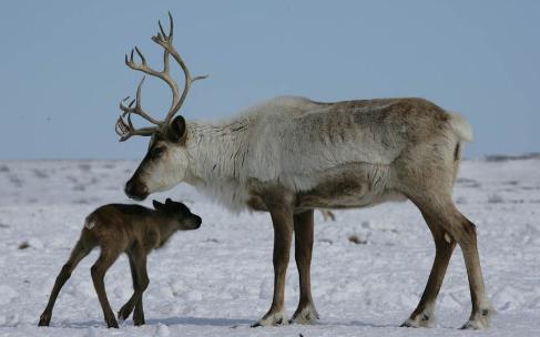 северный олень с детёнышем (источник: google.com)