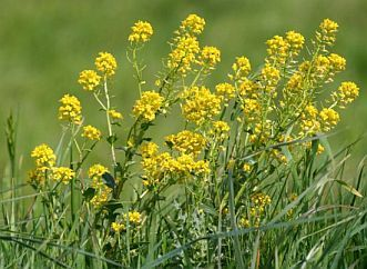 Фото сорняк с желтыми цветами