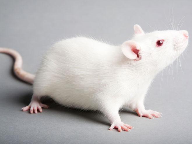 фото белого мышонка с красными глазами работы