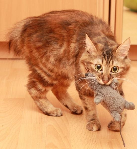 Кошка носит в зубах игрушку