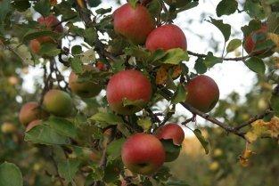 Почему у яблони ржавеют листья ?