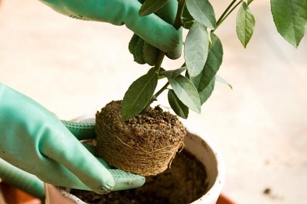 время для пересадки комнатных растений в марте