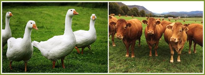 Сколько гусей и коров?