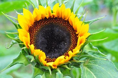 красота растения подсолнечник
