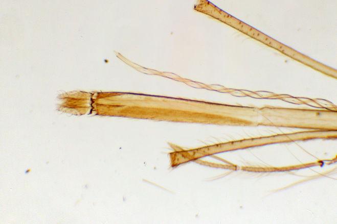 Mosquito mouthparts microscope