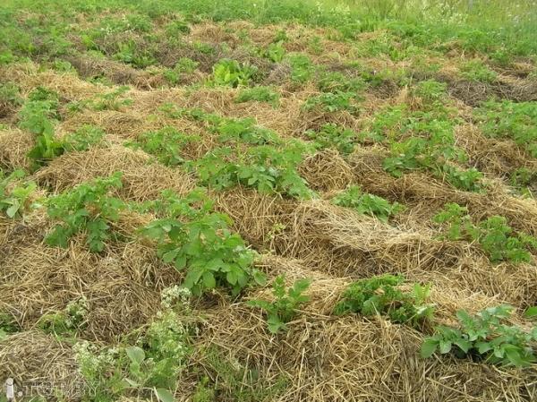 Выращивание картофеля на соломе отзывы