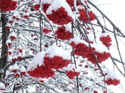 Картинки и фото рябины зимой