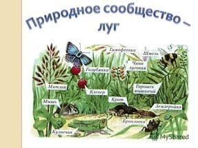 Схема питания лугового сообщества 4 класс фото 657