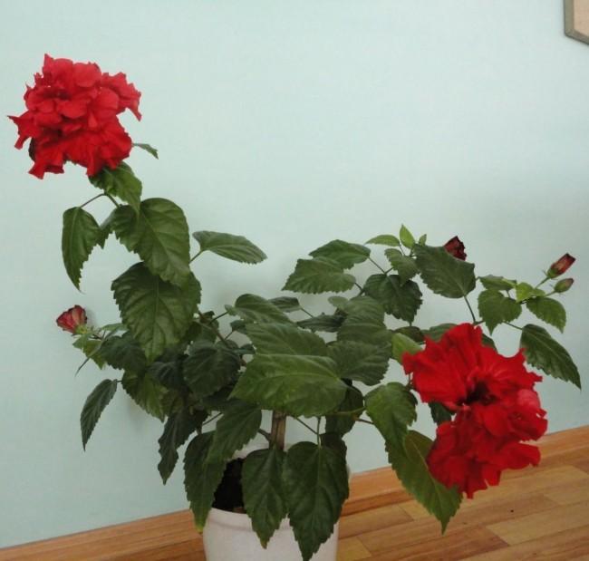 Розан комнатный цветок