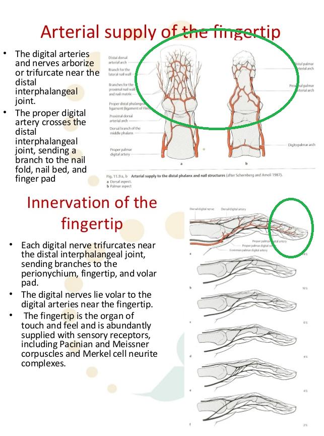 пальцы, кровяная система, нервная система
