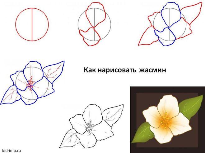 Как нарисовать жасмин