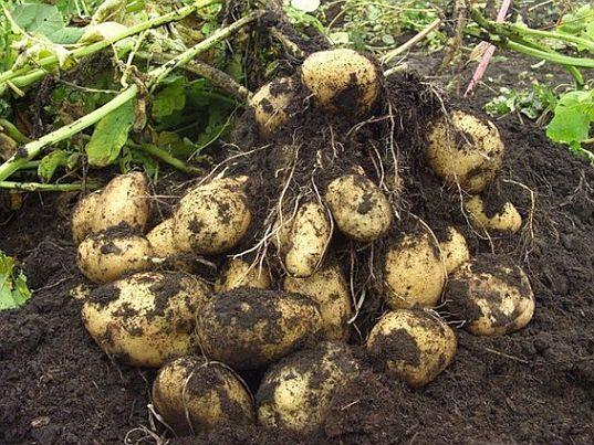 Почему на ботве картофеля появляются ягодки и нужно их срывать