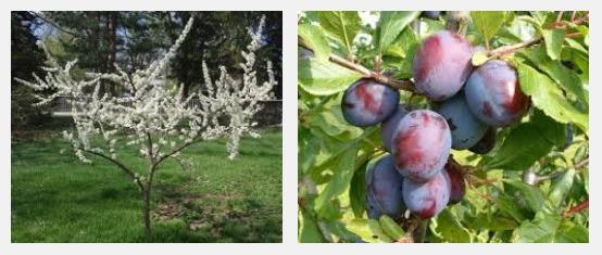 Можно ли сажать смородину рядом с яблонями 940