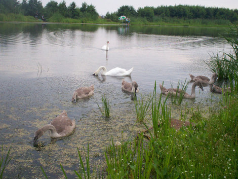 озеро Лебедь на Куршской косе
