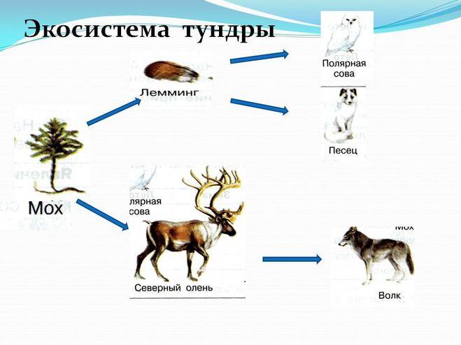 Схема питания характерная для тундры