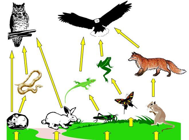 Схема питания лугового сообщества 4 класс фото 713