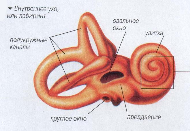 повороте налево рецепторные зоны внутреннего уха гистология всех видов транспорта