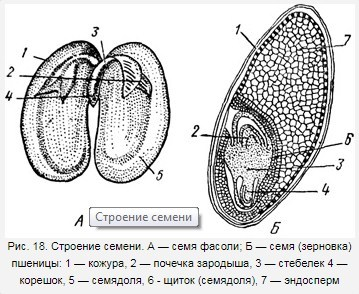 как называется питательная ткань семени