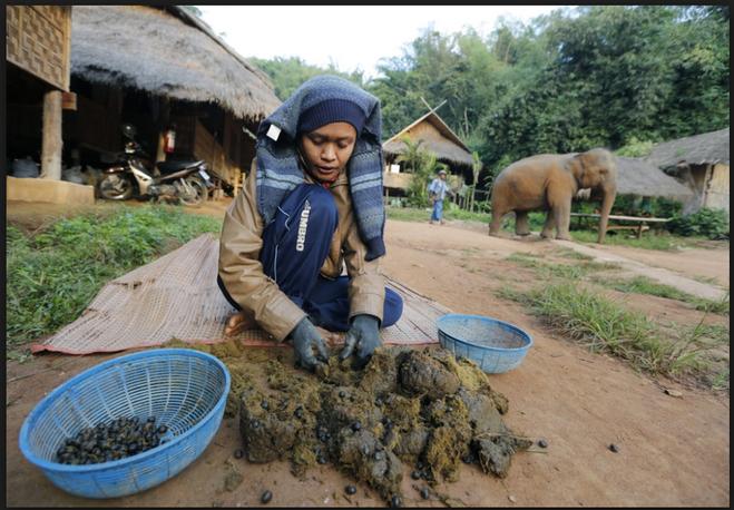 текст при наведении - очистка зёрен кофе от фекалий слонов