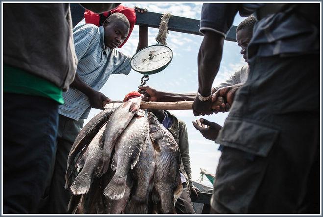 Рыбаки взвешивают нильского окуня