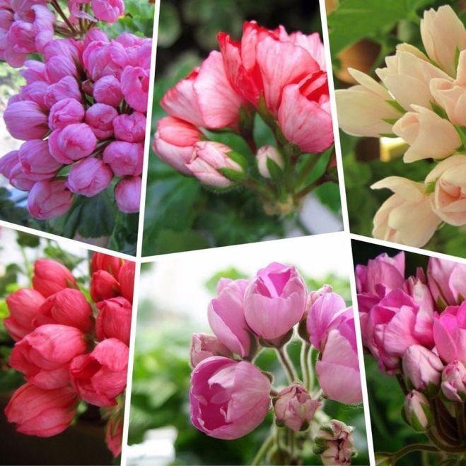 купить в спб семена герани тюльпановидной