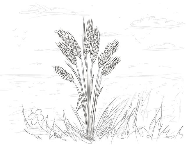 Рисунок колосков пшеницы