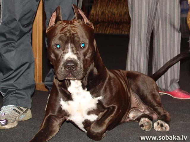 Какой породы собака на видео Панин и собака?