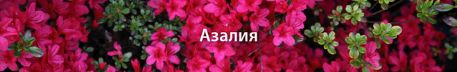 Азалия с днем рождения открытки с 156