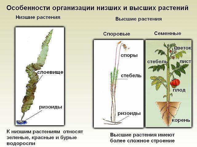 Классификация водорослей фото