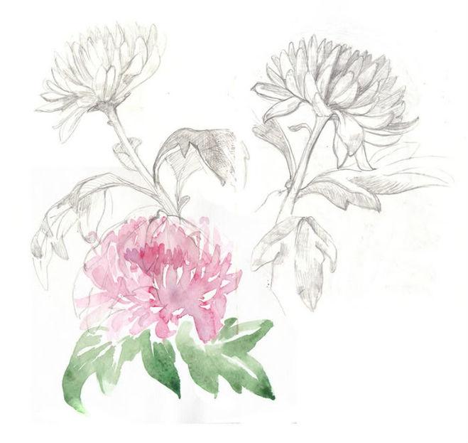 Как нарисовать хризантемы поэтапно