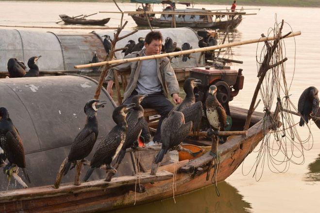 как бакланы ловят рыбу для людей