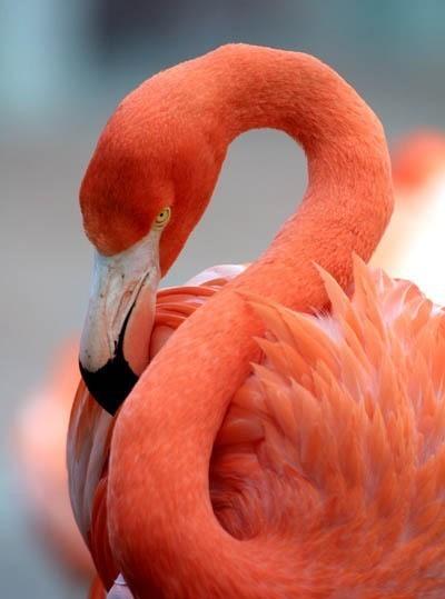 птица фламинго фото