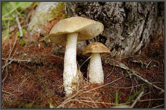 грибы подобабки фото