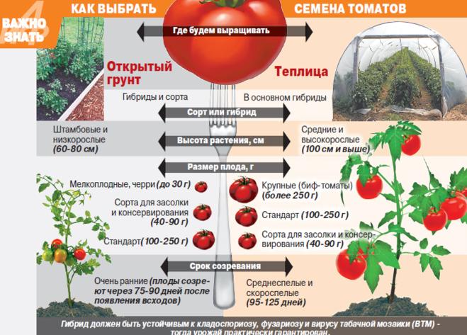 Сколько выращивать рассаду томата