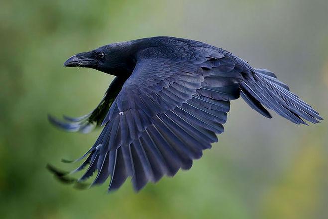Что едят вороны и что ест ворон