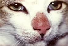 Пятна у кота на носу