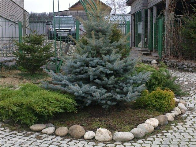 Можно садить елки во дворе