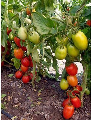 Сорт помидоров которые не боятся фитофторы